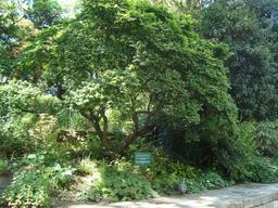 Orme champêtre. Source : http://data.abuledu.org/URI/506e0891-orme-champetre
