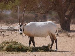 Oryx d'Arabie. Source : http://data.abuledu.org/URI/5318c1ae-oryx-d-arabie