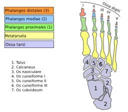 Os du pied humain. Source : http://data.abuledu.org/URI/5398e167-os-du-pied-humain