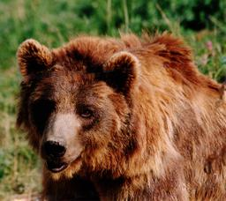 Tête d'ours brun. Source : http://data.abuledu.org/URI/50425f37-oso-jpg