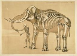 Ossature comparée de l'homme et de l'éléphant. Source : http://data.abuledu.org/URI/539899ff-ossature-comparee-de-l-homme-et-de-l-elephant