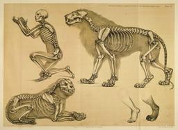 Ossature comparée de l'homme et du lion. Source : http://data.abuledu.org/URI/5398dd9c-ossature-comparee-de-l-homme-et-du-lion