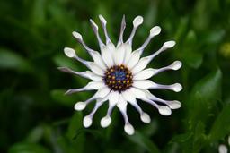 Osteospermum blanche. Source : http://data.abuledu.org/URI/5187fef8-osteospermum-blanche