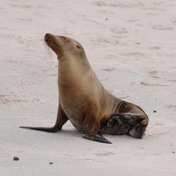 Otarie des Galapagos. Source : http://data.abuledu.org/URI/5372a4de-otarie-des-galapagos