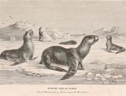 Otaries en 1866. Source : http://data.abuledu.org/URI/59459be9-otaries-en-1866