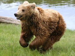 Ours brun arctique. Source : http://data.abuledu.org/URI/5301d2e0-ours-brun-arctique