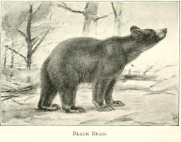 Ours noir d'Amérique. Source : http://data.abuledu.org/URI/5880f964-ours-noir-d-amerique