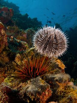 Oursins de l'océan indien. Source : http://data.abuledu.org/URI/503becd5-oursins-de-l-ocean-indien