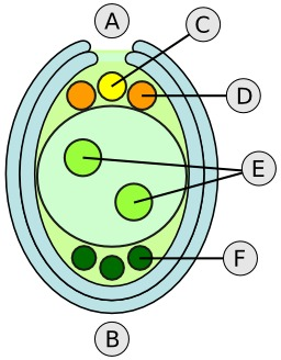 Ovule d'angiosperme avec sac d'embryons. Source : http://data.abuledu.org/URI/50df6e8f-ovule-d-angiosperme-avec-sac-d-embryons