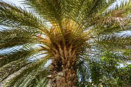 Palmier dattier crétois. Source : http://data.abuledu.org/URI/551ed682-palmier-dattier-cretois