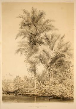 Palmier des îles Carolines en 1838. Source : http://data.abuledu.org/URI/5981069c-palmier-des-iles-carolines-en-1838