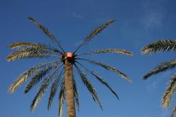 Palmier pour le legmi en Tunisie. Source : http://data.abuledu.org/URI/52e03ca7-palmier-pour-le-legmi-en-tunisie