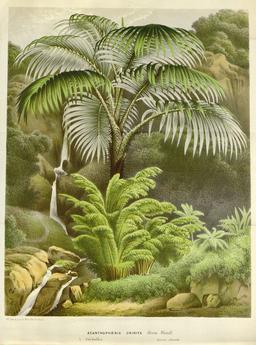 Palmiste noir de La Réunion. Source : http://data.abuledu.org/URI/52db2de0-palmiste-noir-de-la-reunion