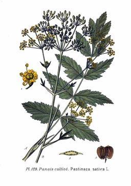 Panaïs cultivé. Source : http://data.abuledu.org/URI/504f5e88-panais-cultive