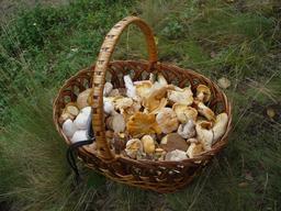Panier de champignons comestibles. Source : http://data.abuledu.org/URI/588cac49-panier-de-champignons-comestibles