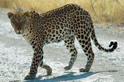 Panthère de Namibie. Source : http://data.abuledu.org/URI/501c3d52-panthere-de-namibie