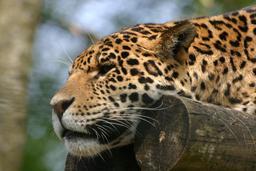 Panthère de perse. Source : http://data.abuledu.org/URI/5061cca1-panthere-de-perse