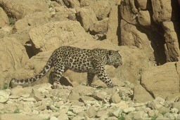 Panthère-léopard du désert de Judée. Source : http://data.abuledu.org/URI/501c3e49-panthere-leopard-du-desert-de-judee