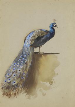 Paon bleu. Source : http://data.abuledu.org/URI/5135135f-paon-bleu