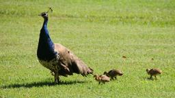 Paon bleu et ses petits. Source : http://data.abuledu.org/URI/5135148e-paon-bleu-et-ses-petits