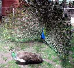 Paon bleu faisant la roue. Source : http://data.abuledu.org/URI/510301b9-paon-bleu-faisant-la-roue