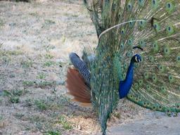 Paon bleu mâle faisant la roue. Source : http://data.abuledu.org/URI/510300f1-paon-bleu-male-faisant-la-roue