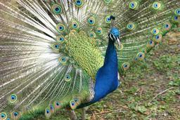 Paon qui fait la roue. Source : http://data.abuledu.org/URI/5062cfc2-paon-qui-fait-la-roue