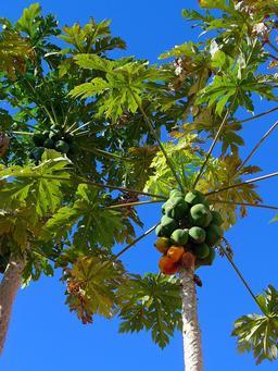 Papayer et ses fruits. Source : http://data.abuledu.org/URI/503c8820-papayer-et-ses-fruits