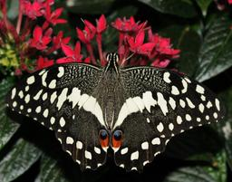 Papilio demodocus réunionnais. Source : http://data.abuledu.org/URI/521a20b7-papilio-demodocus-reunionnais