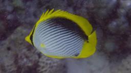 Poisson-papillon à dos noir. Source : http://data.abuledu.org/URI/5544c972-papillon-a-dos-noir