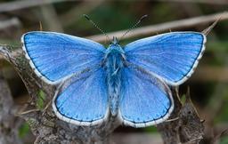 Papillon azuré bleu céleste. Source : http://data.abuledu.org/URI/5630d812-papillon-azure-bleu-celeste