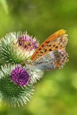 Papillon butinant un chardon. Source : http://data.abuledu.org/URI/541b53ff-papillon-butinant-un-chardon