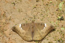 Papillon d'Inde. Source : http://data.abuledu.org/URI/58b90a92-papillon-d-inde