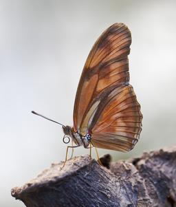 Papillon Dryas iulia à Ténérife. Source : http://data.abuledu.org/URI/54dbd62e-papillon-dryas-iulia-a-tenerife