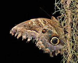 Papillon hibou. Source : http://data.abuledu.org/URI/564ceac5-papillon-hibou