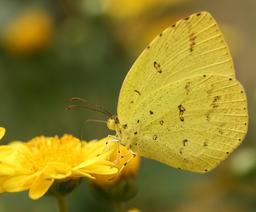 Papillon jaune. Source : http://data.abuledu.org/URI/503e9ed0-papillon-jaune