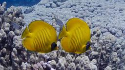 Poissons-papillons jaune masqué. Source : http://data.abuledu.org/URI/5544c9c6-papillon-jaune-masque