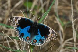 Papillon Junonia orithya. Source : http://data.abuledu.org/URI/59dd84c0-papillon-junonia-orithya