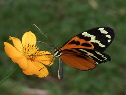 Papillon (Melinaea lilis) de profil. Source : http://data.abuledu.org/URI/47f4bb75-papillon-melinaea-lilis-de-profil