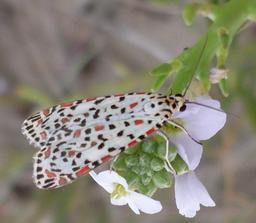 Papillon réunionnais Utetheisa pulchelloides. Source : http://data.abuledu.org/URI/521a2034-papillon-reunionnais-utetheisa-pulchelloides