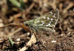 Papillon Virgule femelle. Source : http://data.abuledu.org/URI/59836538-papillon-virgule-femelle