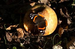 Papillon Vulcain. Source : http://data.abuledu.org/URI/50649b5c-papillon-vulcain