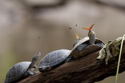 Papillons et tortues en Équateur. Source : http://data.abuledu.org/URI/55cca858-papillons-et-tortues-en-equateur