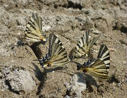 Papillons Flambés. Source : http://data.abuledu.org/URI/56d600d6-papillons-flambes