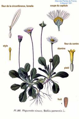 Pâquerette. Source : http://data.abuledu.org/URI/505775fc-paquerette