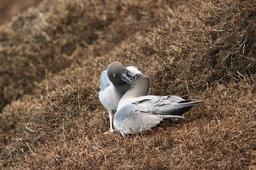 Parade nuptiale d'albatros aux îles Kerguelen. Source : http://data.abuledu.org/URI/54e644ff-parade-nuptiale-d-albatros-aux-iles-kerguelen