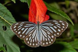 Pareronia hippia femelle en Inde. Source : http://data.abuledu.org/URI/59229ef3-pareronia-hippia-femelle-en-inde