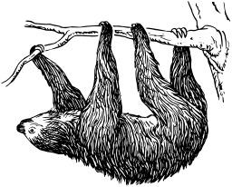 Paresseux suspendu à une branche. Source : http://data.abuledu.org/URI/53eb88e8-paresseux-suspendu-a-une-branche
