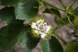 Passiflora foetida. Source : http://data.abuledu.org/URI/5487332d-passiflora-foetida