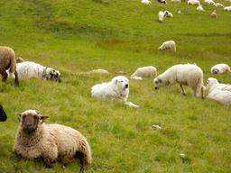 Patou des Pyrénées au milieu des moutons. Source : http://data.abuledu.org/URI/51607e18-patou-des-pyrenees-au-milieu-des-moutons